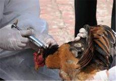 تلفات آنفلوآنزای مرغی به ۱۸ میلیون قطعه رسید