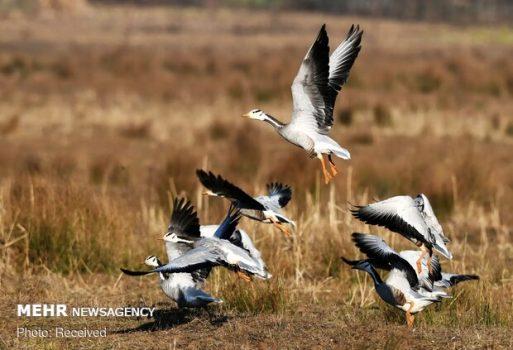 استان بوشهر میزبان ۲۲۰ گونه پرنده است/ زندگی ۴۰ گونه پستاندار