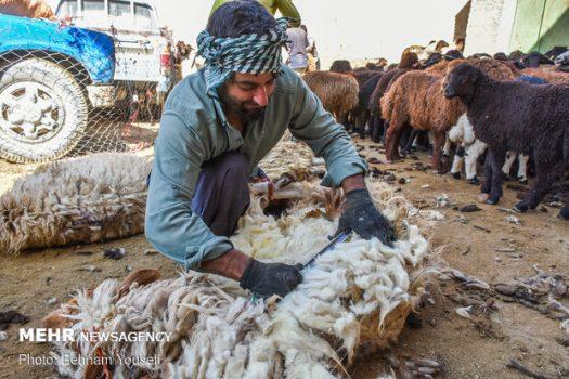 فصل پشمچینی گوسفندان در استان بوشهر آغاز شد